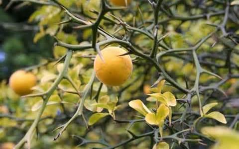 Le citronnier de Corée