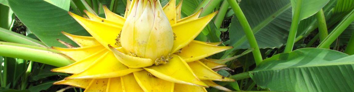 La muselle, ou lotus d'or