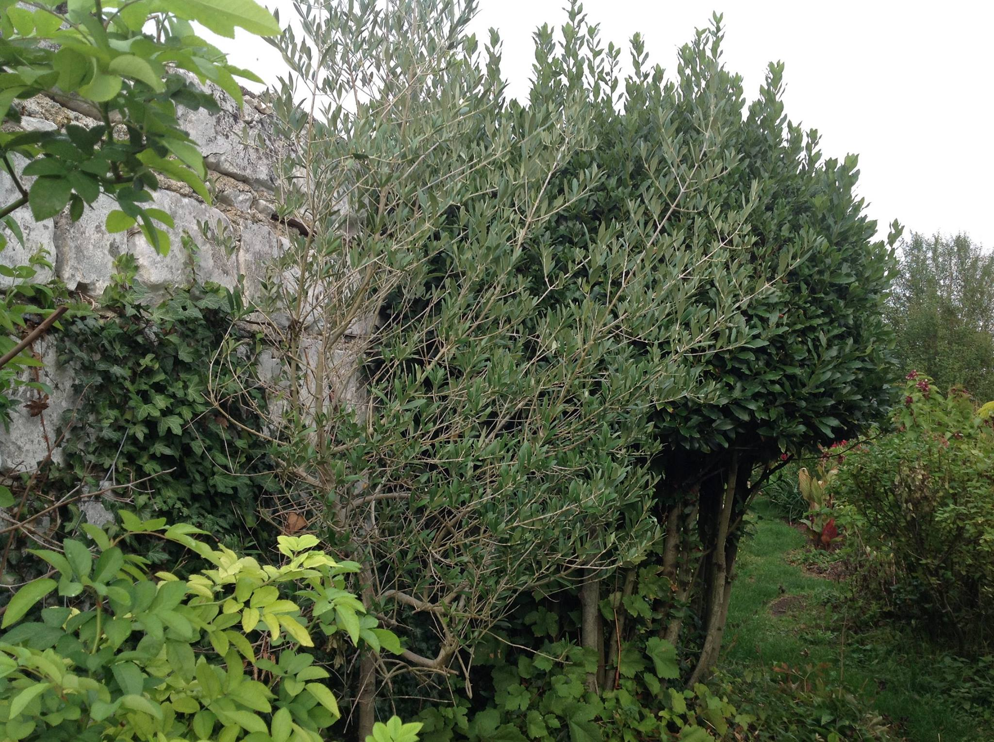 Plantation D Un Olivier En Pleine Terre. Des Plantes With Plantation ...