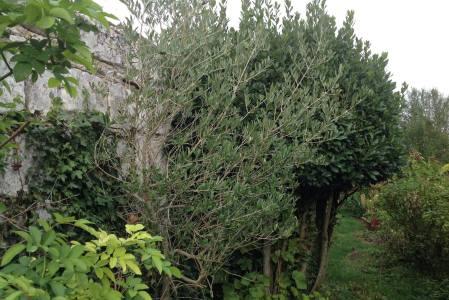 Un olivier pour le nord