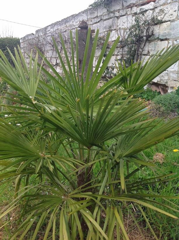 Palmiers rustiques le jardin d 39 pices - Quand tailler un palmier ...