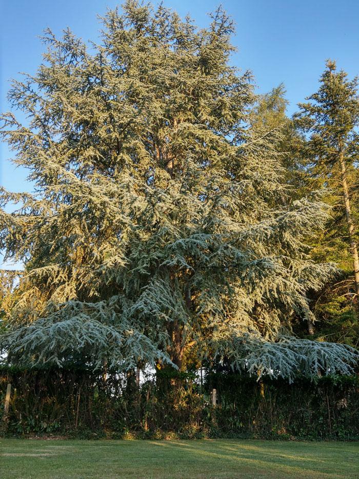Les grands arbres : Cèdre bleu (Cedrus atlantica)