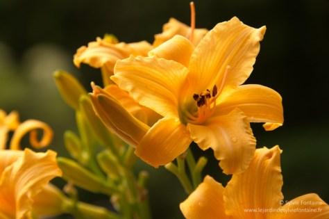 Hémérocalle Stella de Oro, un petite splendeur , une valeur sûre dans le vaste monde des hémérocalles