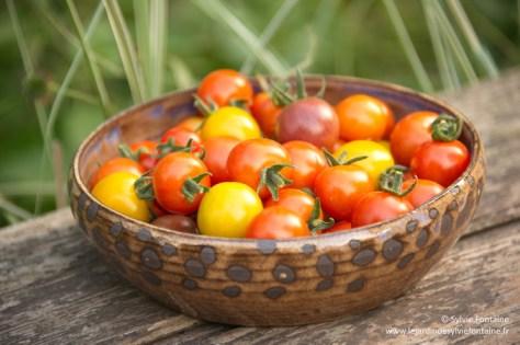 Récolte des premières tomates cerises