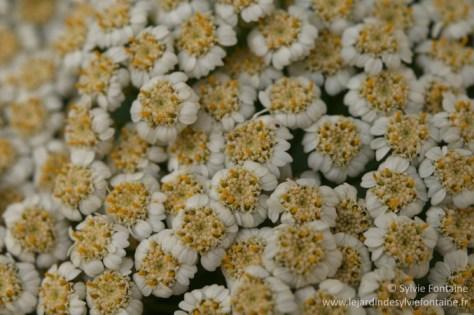 Tanacetum macrophyllum est une plante peu connue et pourtant adorable , intéressante en bouquet et aussi une petite splendeur l'hiver pour moi