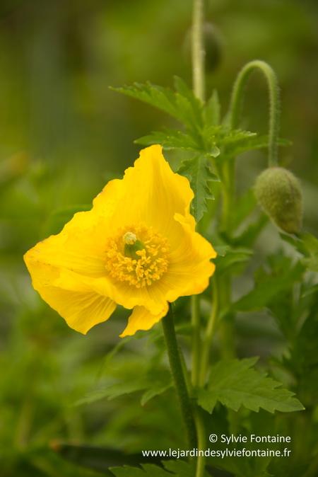 une floraison échelonnée de mai à septembre ou plus...sympa non?