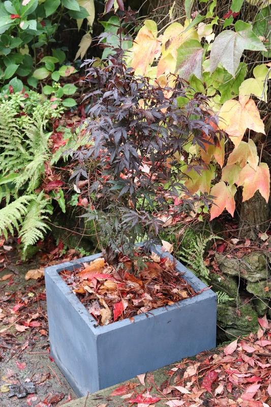 Planter Erable Du Japon : planter, erable, japon, Plantation, érable, Japon, Rêveries, D'une, églantine