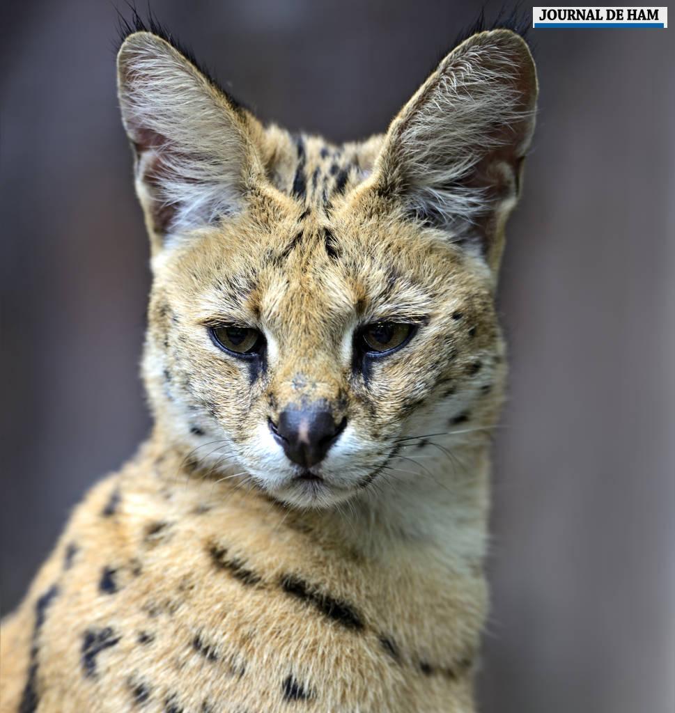 Deux servals débarquent au parc zoologique d'Amiens | Le