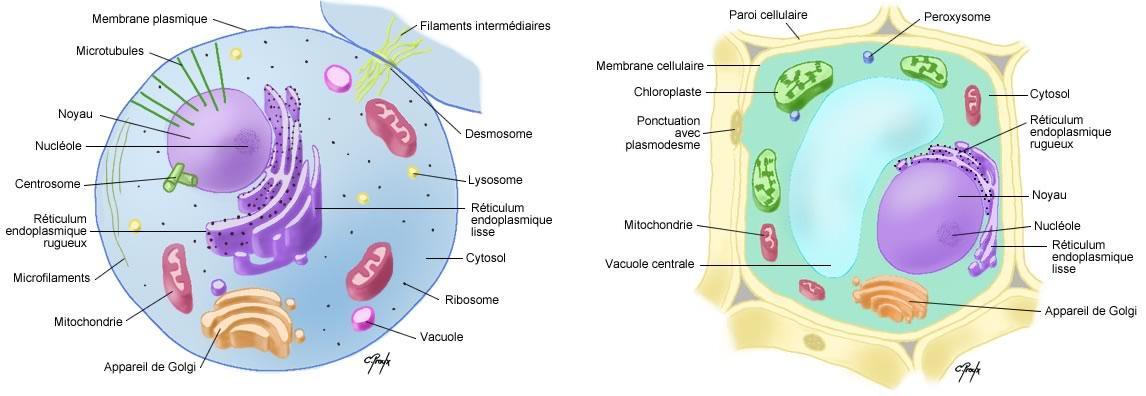 Cellules v g tales for Vegetal en anglais