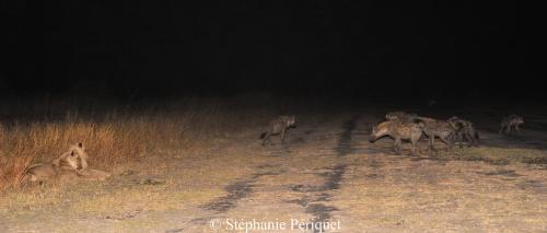 Scène: les lions sont arrivés les premiers sur une carcasse, puis les hyènes sont arrivées. Manœuvre d'intimidation, mais sans succès, les lions ont conservé leur trouvaille !