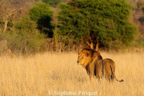 Les lions sont parmi les causes majeures de mortalité des hyènes. Copyright de l'image à Stéphanie Périquet !