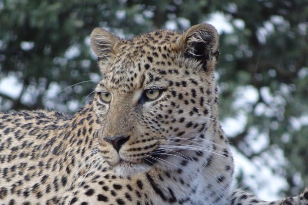 léopard, Africat, Namibie