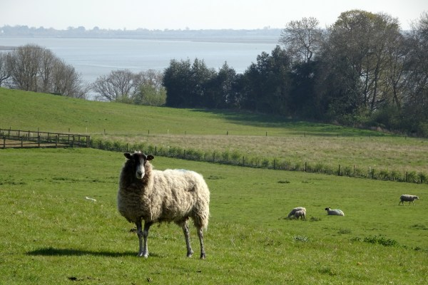 animaux Wivenhoe moutons