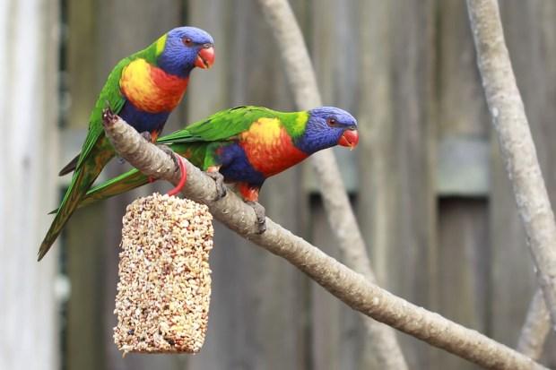 Fakta dan Ciri Burung Hantu Jantan
