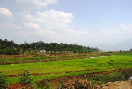Hamparan Sawah di area sedimentasi rawapening