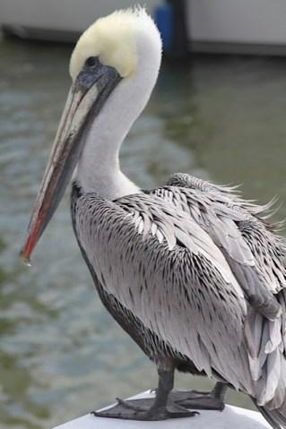 Pelicans Close Up (Naples)
