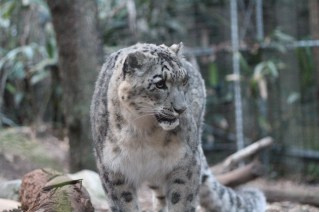 snow leopard female-growling