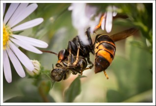 Frelon 1 - Abeille 0