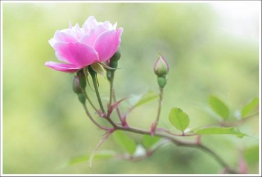 Rosa Rosa Rosam...