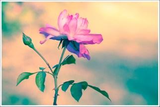Rose psyché