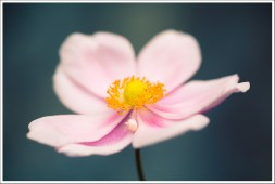 Zolie fleur