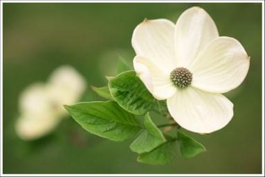 Pétunia flower