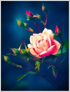 Kitshy Rose