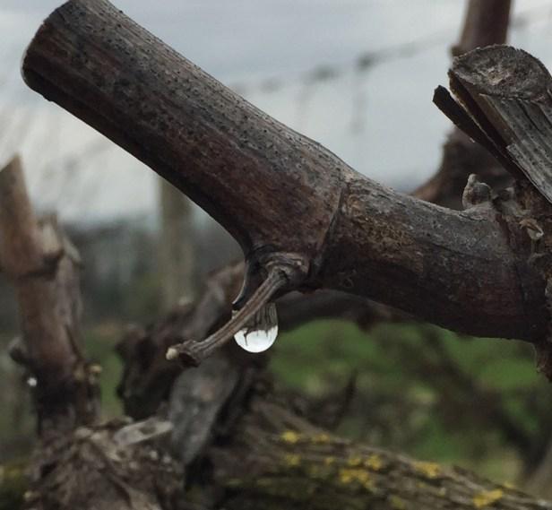 Freshly cut grape vine