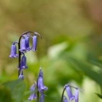 More than bluebells