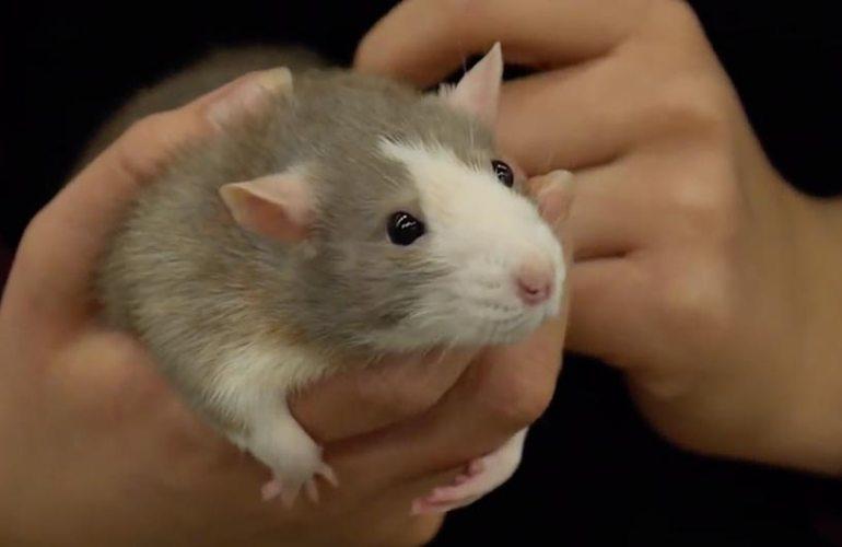 Kesyrotat, rotta, lemmikki, lemmikit, lemmikkieläimet