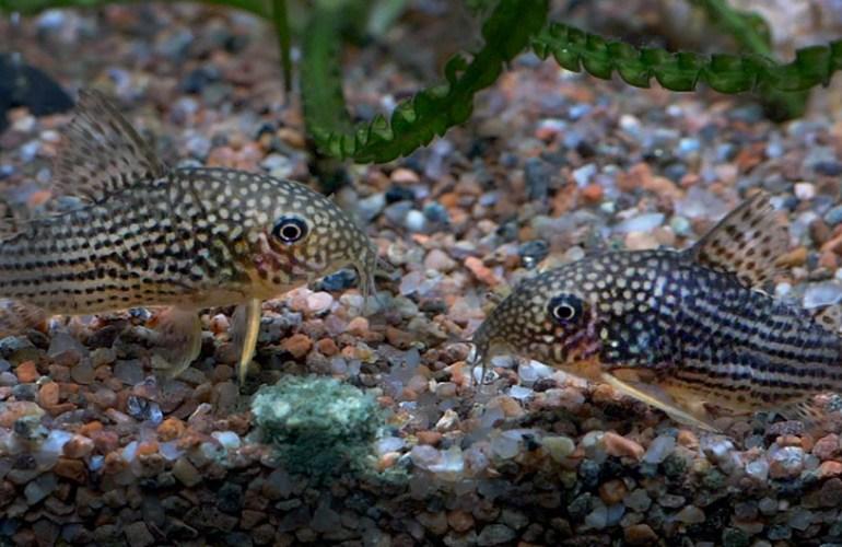 helmimonninen, akvaariokala, akvaariokalat, akvaario, akvaarion hoito, lemmikit, lemmikkieläimet