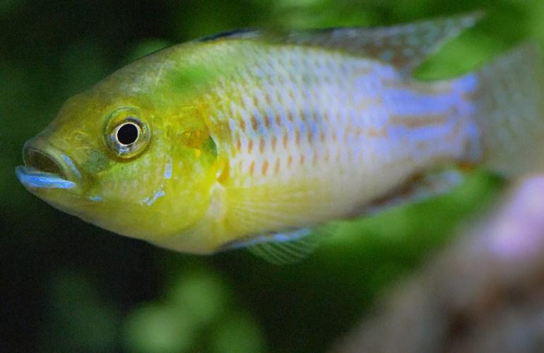 purppurasuuhautoja, kirjoahven, akvaariokala, akvaariokalat, akvaario, akvaarion hoito, lemmikit, lemmikkieläimet