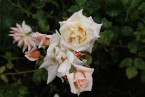 Róża 2