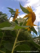 sunflower12