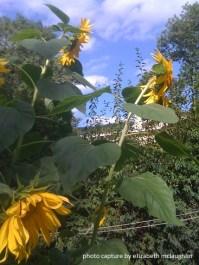 sunflower30