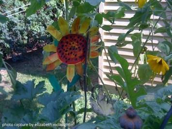 sunflower40