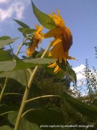 sunflower41