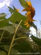 sunflower42