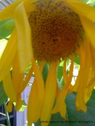 sunflower57