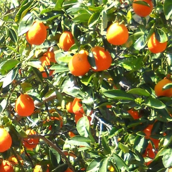 34 Year Old Honeybell Tangelo Tree