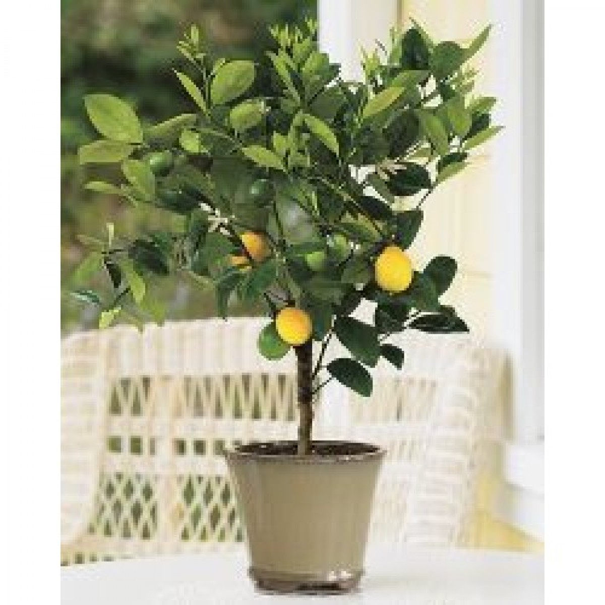 4 5 year old approx 3 5 5 ft meyer lemon tree
