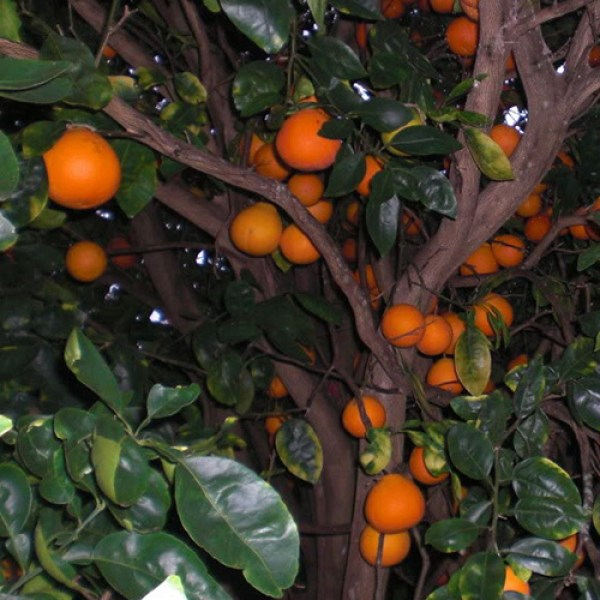 23 Year Old Orlando Tangelo Tree