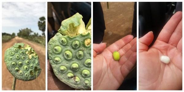 fruit de la fleur de lotus