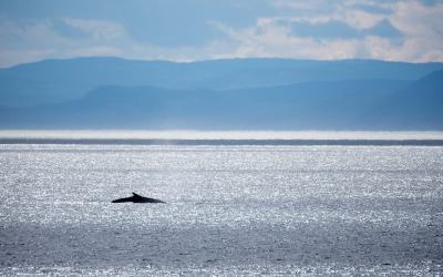 CANADA – QUEBEC – Les baleines du Saint-Laurent