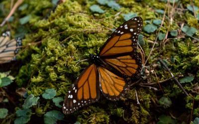 MEXICO – MICHOACAN – From Patzcuaro to the Monarch Butterflies