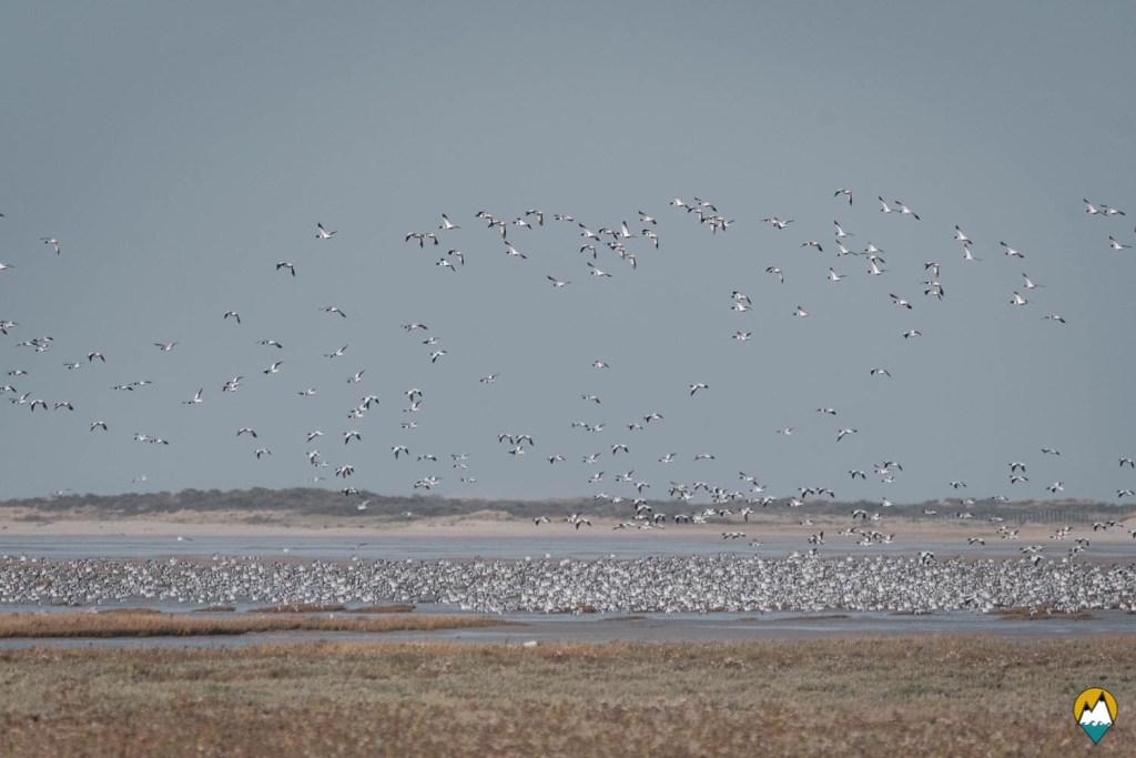 Baie de Somme - Sortie pour observer les phoques - Tadornes de Belon