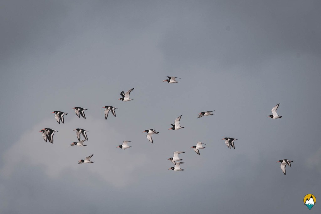 Baie de Somme - Sortie pour observer les phoques - Huîtriers pie
