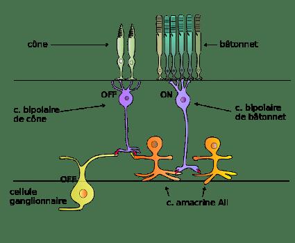 cellules_retine