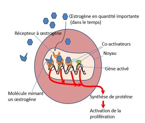 oestrogen_stimulation_proliferation