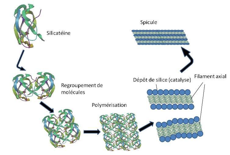 mecanisme_formation_spicule